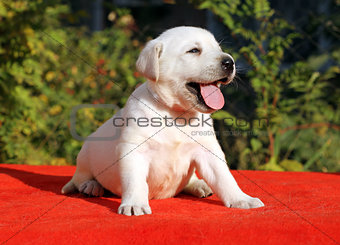 a nice labrador puppy on a red background