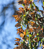Monarch butterflies - Danaus plexippus