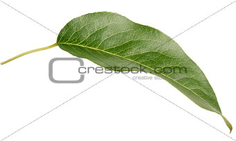 Green pear leaf on white
