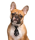 French Bulldog with a tie, isolated on white