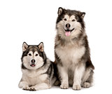 Malamute couple sticking the tongue out, isolated on white