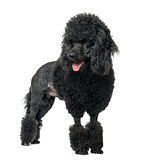 Poodle sticking the tongue out, isolated on white