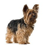 Yorkshire Terrier looking away, isolated on white