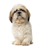 Shih Tzu looking at the camera, isolated on white