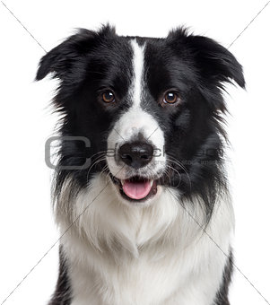 Close up of a Border Collie isolated on white