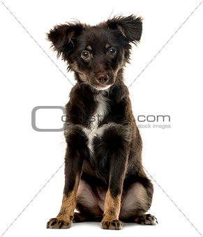 Cross breed puppy looking at the camera, isolated on white