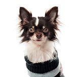 Chihuahua dressed looking at the camera, isolated on white