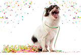 Chihuahua partying and yawming, isolated on white
