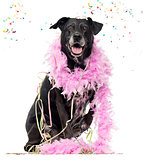 Crossbreed dog partying, isolated on white