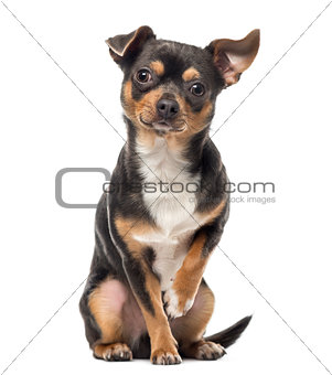 Cross breed dog looking at the camera, isolated on white