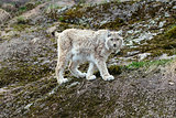 White-gray lynx on rock