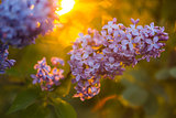 Bunch of lilac in the rays of the setting sun