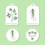Silhouette of eleutherococcus senticosus with leaves.  Medicinal plant. Healthy lifestyle. Vector  Illustration. Tags and Labels
