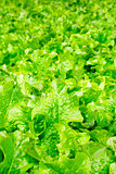 Field of lettuce salad