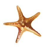 Sea Starfish Illustration