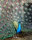Photo portrait of beautiful peacock