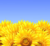 Border with sunflowers