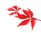Red autumn twig of grapes leaves (Parthenocissus quinquefolia fo