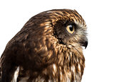 Close-up of a Southern boobook (Ninox boobook) in front of a whi