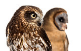 Close-up of a Southern boobook (Ninox boobook) and an Ashy-faced