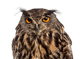 Close-up of an Eurasian eagle-owl (Bubo bubo) in front of a whit