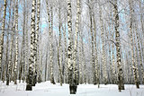 Winter birch grove with covered snow branches