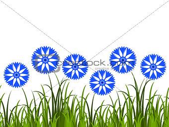 cornflowers border