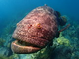Goliath Grouper Looe Key National Park Florida Keys