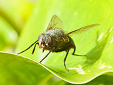 Large fly on green leaf