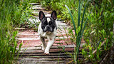 Dog, French bulldog
