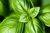 Fresh basil leaves (detail)