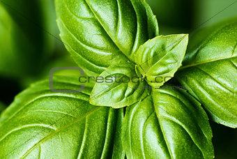 Fresh basil leaves (detail)