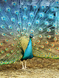 Photo portrait of beautiful peacock