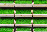 green grass in a wooden box