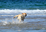 a nice yellow labrador swimming in the sea