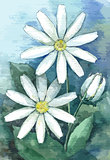 Garden chamomile. Watercolor illustration