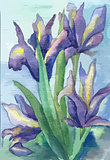 Watercolor irises in vector