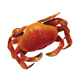 Sea Crab Illustration