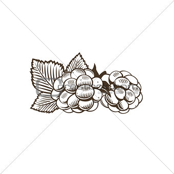 Blackberry in vintage style. Line art vector illustration