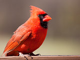 Male cardinal on a perch