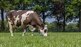 Brown and white cow grazing in a dutch landscape