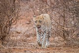 Leopard walking towards the camera
