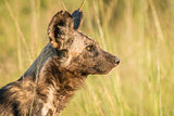 African Wild dog in the golden light