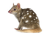 Back view of a Quoll sitting, isolated on white