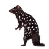 back view of a Quoll isolated on white
