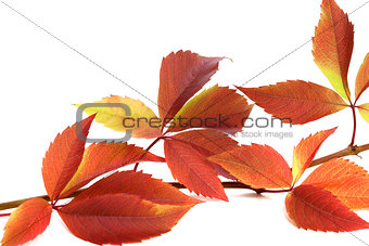 Autumnal twig of grapes leaves (Parthenocissus quinquefolia foli