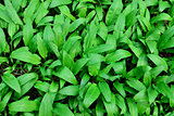 Ramson or wild garlic (lat. allium ursinum)