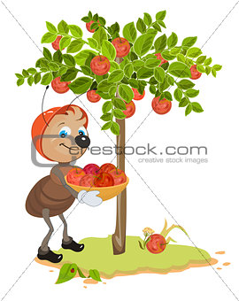 Ant Gardener gather apples. Apple tree and red ripe apples. Orchard
