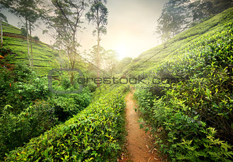 Footpath in tea plantation