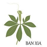 ban xia Chinese herb